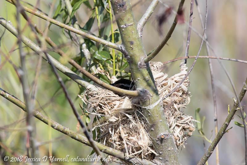Red-winged Blackbird Nesting