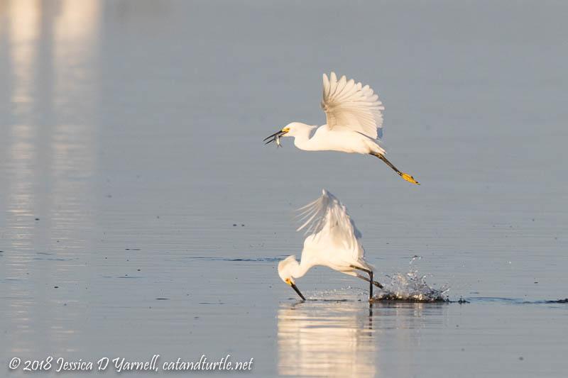 Snowy Egret Fisherbirds
