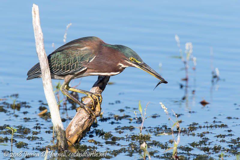 Green Heron with Minnow