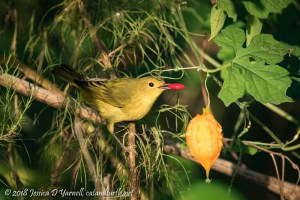 Yellow Warbler with Balsam Apple Seed