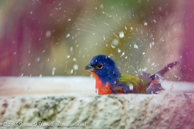 Painted Bunting Bathtime
