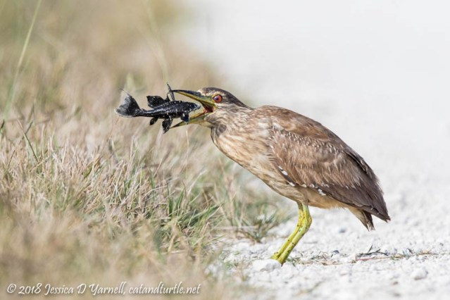 Fish out of Water!  Juvenile Black-crowned Night Heron