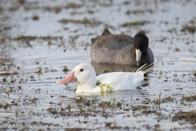 Leucistic Ruddy Duck
