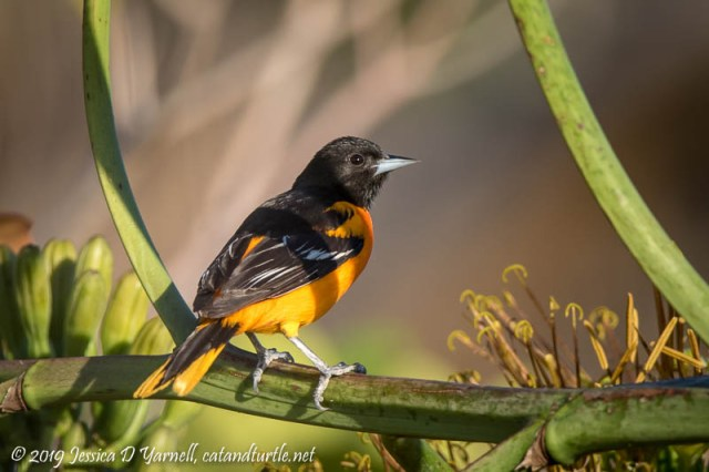 Baltimore Oriole (Male) on Agave Plant