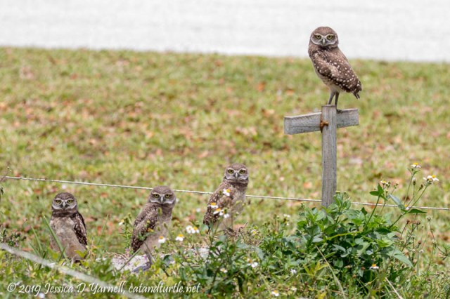 Burrowing Owl Family with Large Babies