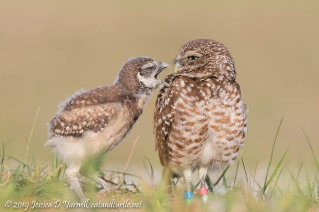 Burrowing Owlet Begging for Food