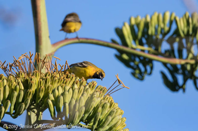 Oriole Bliss (Agave Blooms - Century Plant)