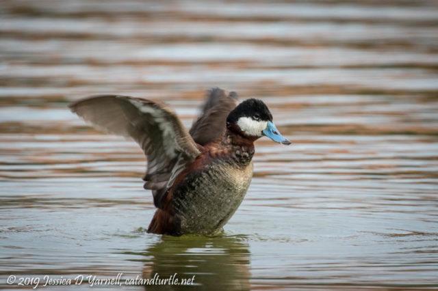 Ruddy Duck Wing Flap