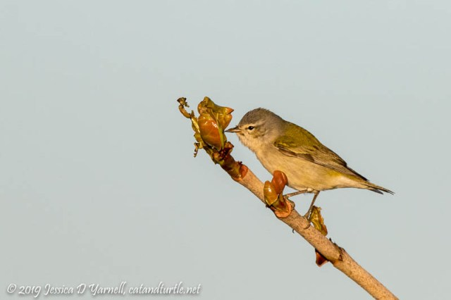 Tennessee Warbler on Sea Grape
