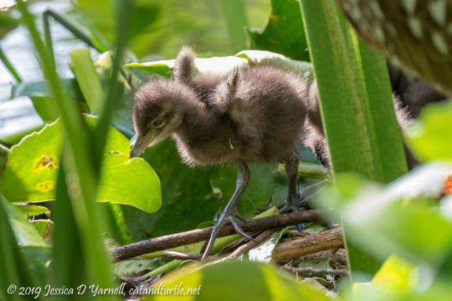 Baby Limpkin Wing-Stretch