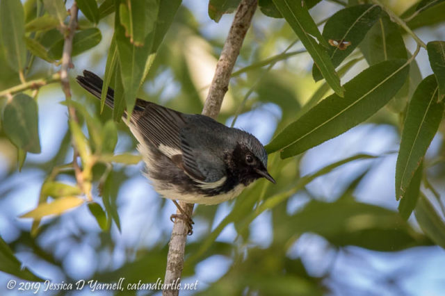 Black-throated Blue Warbler (Male)