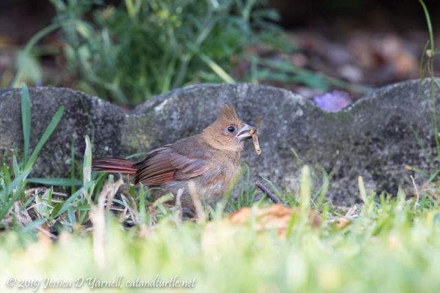First-of-Spring Baby Cardinal