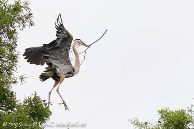 Great Blue Heron On a Stick Hunt