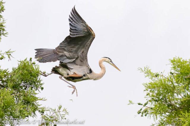 Great Blue Heron on the Run!