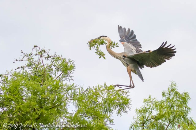 Great Blue Heron Landing Near the Nest
