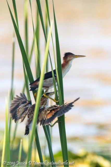 Least Bittern Parent and Chick