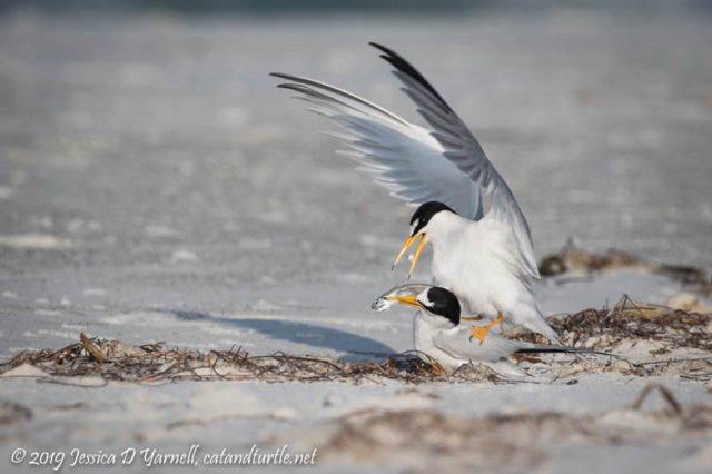 Least Tern Courtship - The female yanks the fish away