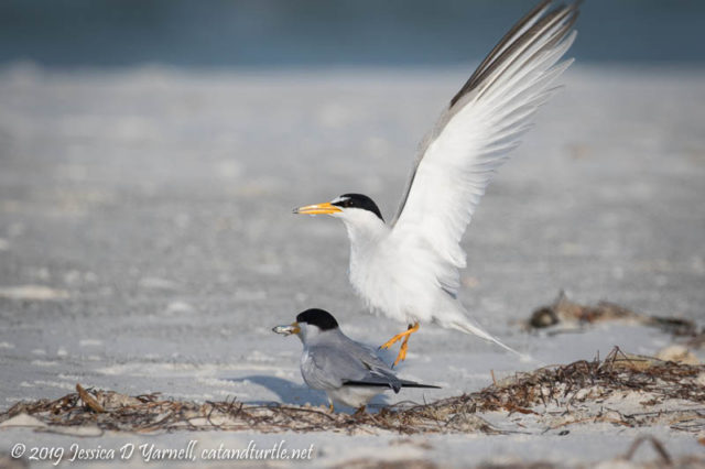 Least Tern Courtship: At the end, the female scooted out from under the male and ran off with the fish.  She gave him the slip!