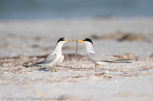Least Tern Courtship: The male pretends to offer the fish directly to the female, but never hands it over