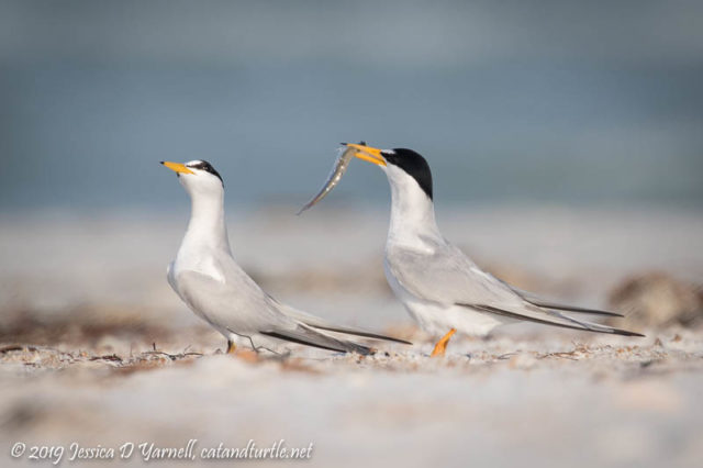 Least Tern Courtship: The female continues to eye the fish...or maybe she's giving the male the evil eye!