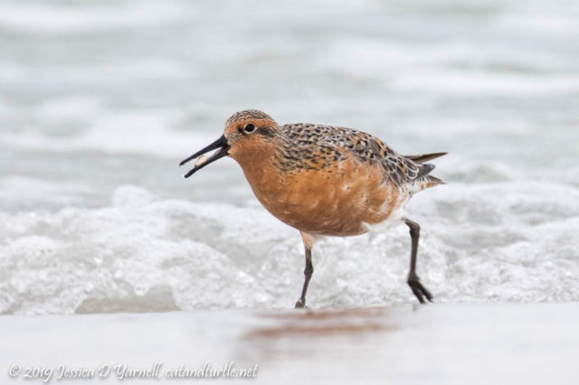 Red Knot emerges from the ocean with breakfast