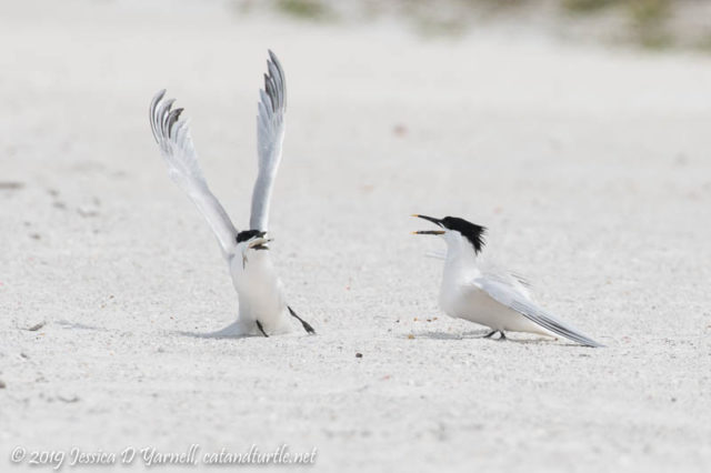 Sandwich Terns Fighting over Fish