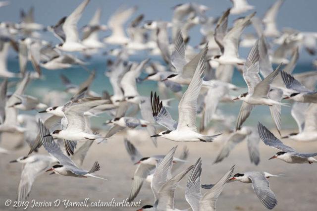 Shorebirds in Flight