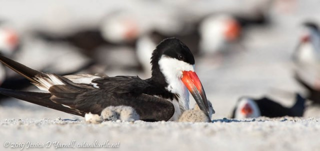 Black Skimmer with Babies
