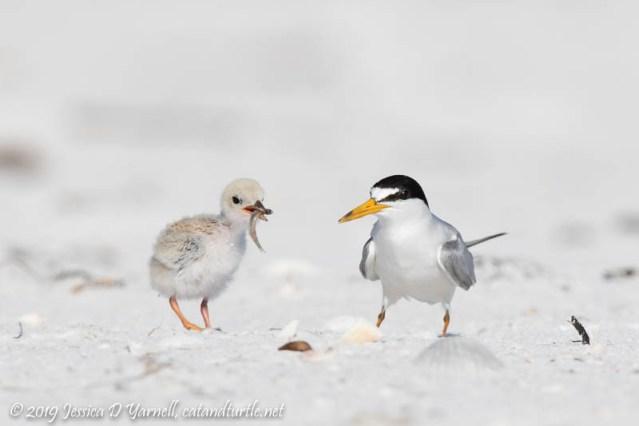 Least Tern Adult feeding Juvenile
