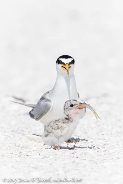 Least Tern Chick Swallowing Fish