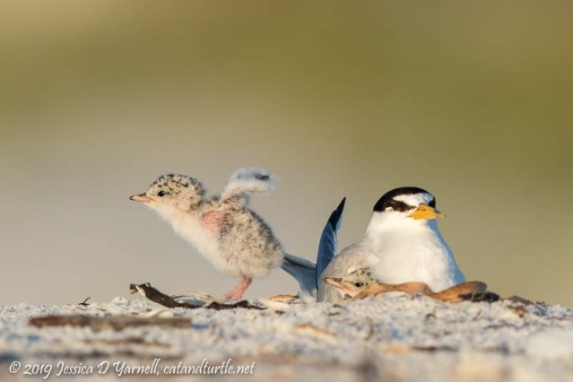 Least Tern Family: Baby Wing Stretch!