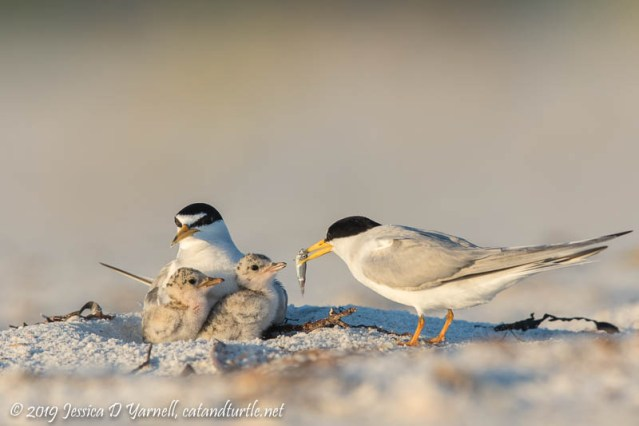 Least Tern Family: Dinner Time for the Babies