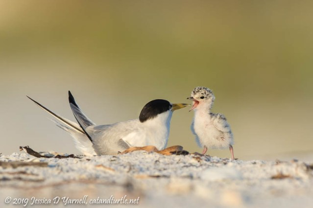 Least Tern Mom and Baby