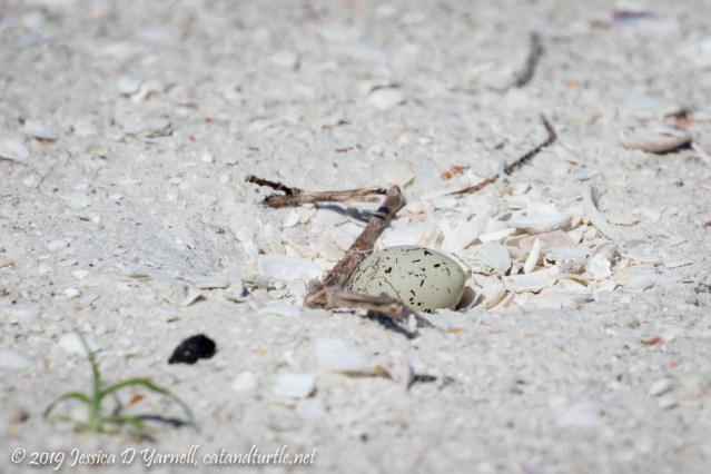 Snowy Plover Egg