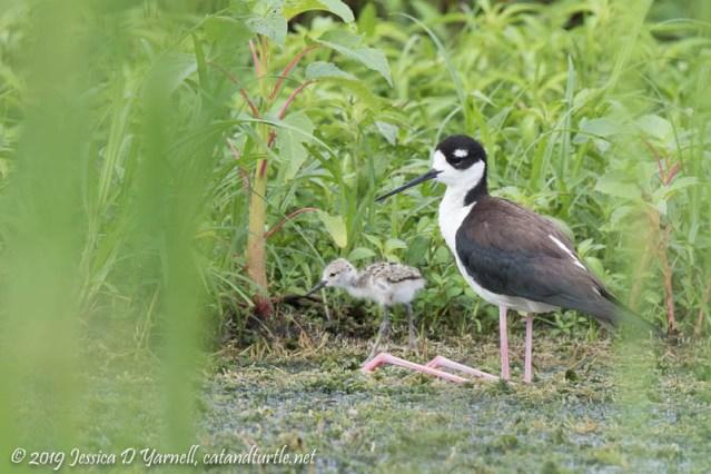 Black-necked Stilt and Baby