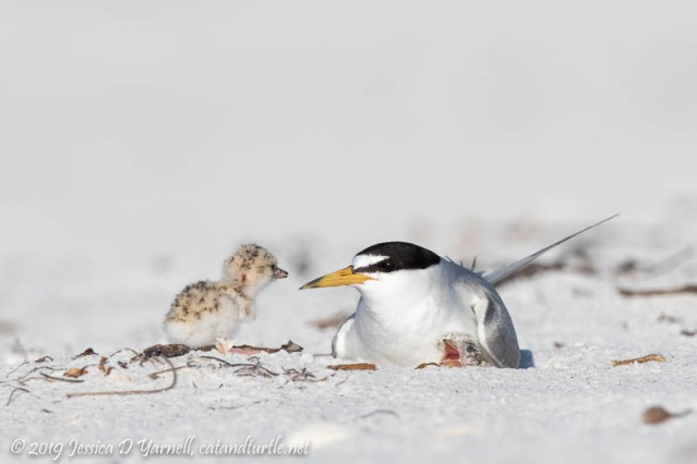 Least Tern Mom and Babies