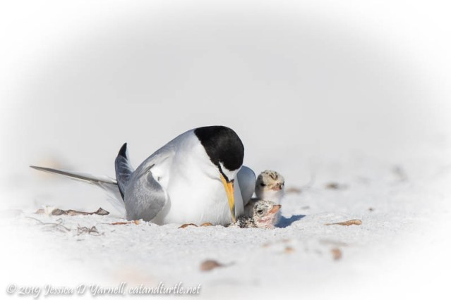 Least Tern with Tiny Chicks