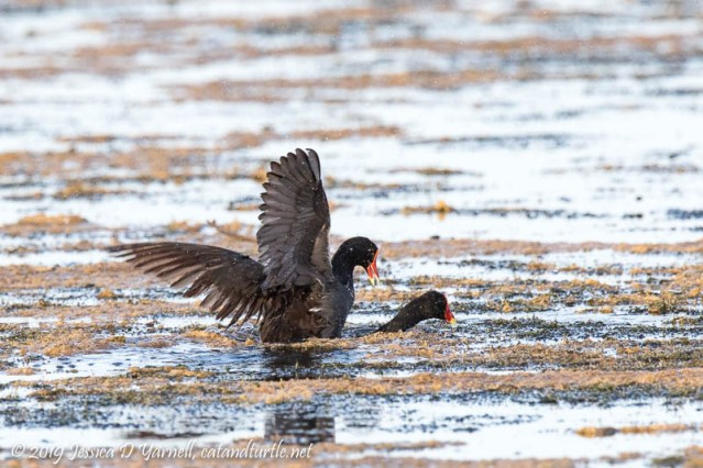 Mating Common Gallinules