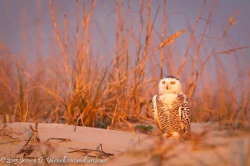 Snowy-Owl_Huguenot-Park_201312291_copyrightJessYarnell-2