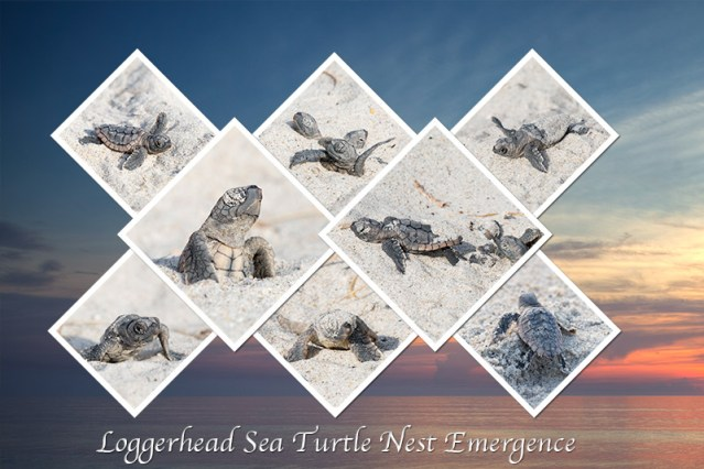 Turtle-Emergence-Collage