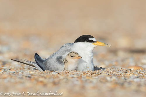 Under-my-Wing_Matanzas-Tern-Colony_201506136_copyrightJessYarnell
