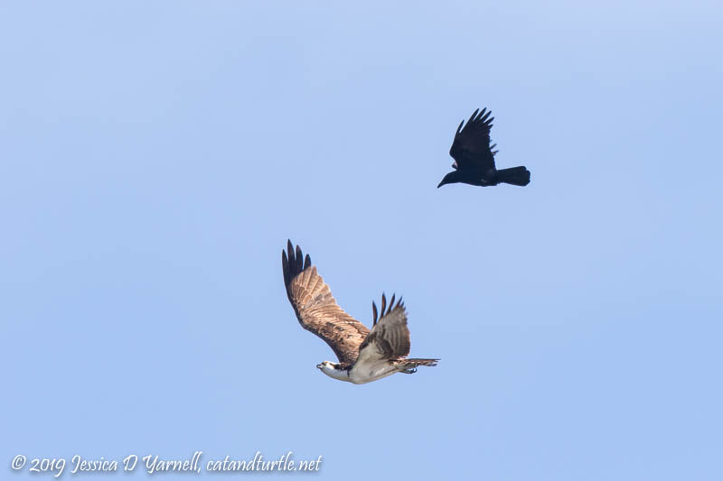 Grackle Chasing Osprey