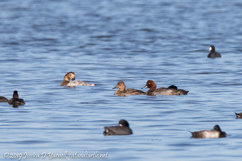Redhead Duck Pair with Canvasback and Coots
