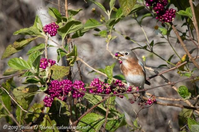 Eastern Bluebird on Beautyberry