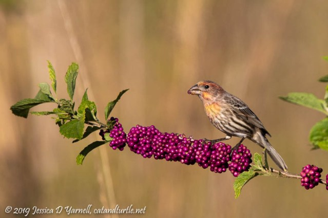 House Finch on Beautyberry