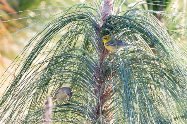Pine Warblers