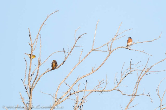 Baltimore Oriole, Eastern Bluebird, Pine Warbler
