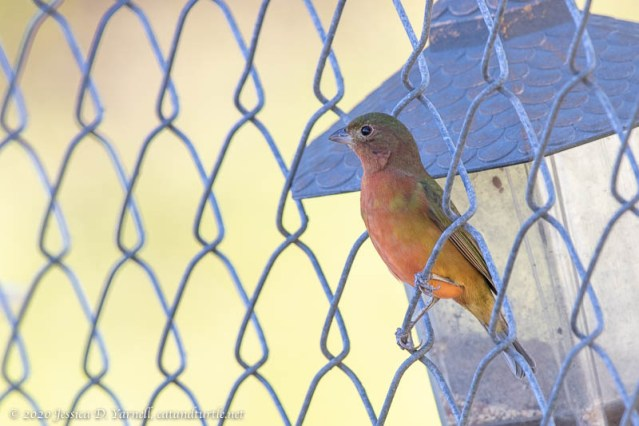 Painted Bunting Greenie with Red Blush