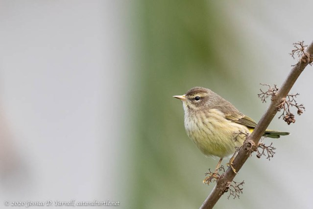 Palm Warbler with Light Beak