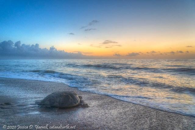 Green Turtle at Sunrise